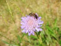 Abeja hermosa en la flor violeta, Lituania Imagen de archivo