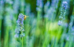 Abeja hermosa en una flor de la lavanda Fotografía de archivo libre de regalías