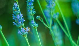 Abeja hermosa en una flor de la lavanda Imagenes de archivo