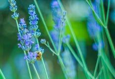Abeja hermosa en una flor de la lavanda Imagen de archivo libre de regalías