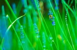 Abeja hermosa en una flor de la lavanda Imagen de archivo