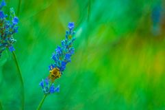 Abeja hermosa en una flor de la lavanda Fotos de archivo