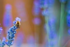 Abeja hermosa en una flor de la lavanda Foto de archivo libre de regalías