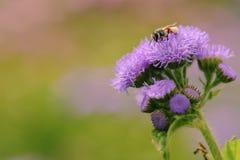 Abeja hermosa que recoge el néctar de la flor Fotos de archivo