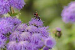 Abeja hermosa que recoge el néctar de la flor Imágenes de archivo libres de regalías