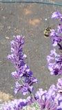 Abeja hermosa que zumba alrededor de wildflowers púrpuras Foto de archivo