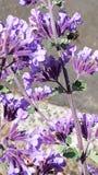 Abeja hermosa que zumba alrededor de wildflowers púrpuras Imagen de archivo
