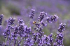 Abeja hermosa y campo de flor violeta de la lavanda Fotografía de archivo libre de regalías