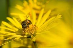 Abeja hogareña que poliniza las flores amarillas en primavera Imagenes de archivo