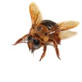Abeja, Honey Bee, insecto Fotos de archivo