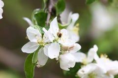 Abeja Huertas florecientes con las abejas en la primavera Árboles florecientes de la huerta Fondo del resorte Huerta de la primav Imagen de archivo