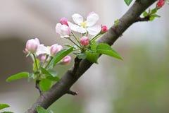 Abeja Huertas florecientes con las abejas en la primavera Árboles florecientes de la huerta Fondo del resorte Huerta de la primav Imagen de archivo libre de regalías