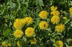 Abeja illuminada en la flor fresca del diente de león del amarillo de la primavera o del officinale de Tarataxum con la floración Foto de archivo libre de regalías
