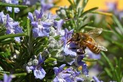Abeja impollinating las flores azules Imagenes de archivo