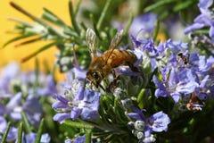 Abeja impollinating las flores azules Foto de archivo
