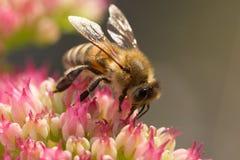 Abeja/insecto en la flor rosada Imagen de archivo libre de regalías