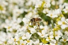 Abeja, insecto en vuelo y flores Imagen de archivo