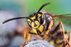 Abeja, intercambio, miel, insectos de la flor del fondo Fotos de archivo