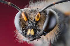 Abeja, intercambio, miel, insectos de la flor del fondo Imagen de archivo libre de regalías