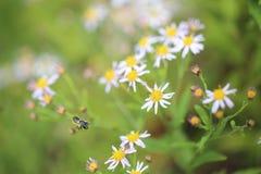 Abeja japonesa y crisantemo salvaje Imagen de archivo libre de regalías