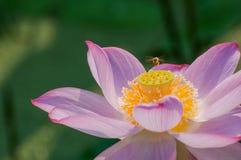 Abeja laboriosa y Lotus Fotos de archivo libres de regalías