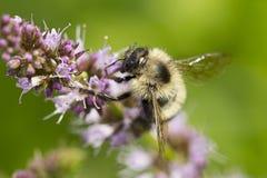 Abeja linda en la flor Fotos de archivo