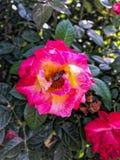 Abeja linda en la rosa Fotos de archivo libres de regalías