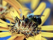 Abeja macra de la imagen en la flor Imagenes de archivo