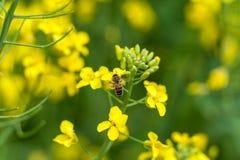 Abeja macra en el flor de la rabina Fondo borroso Fotos de archivo