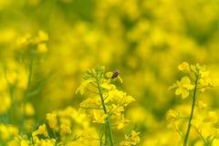 Abeja macra en el flor de la rabina Fondo borroso amarillo Fotos de archivo libres de regalías