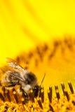 Abeja macra en el girasol amarillo Fotografía de archivo