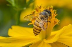 Abeja macra en la flor salvaje amarilla Fotografía de archivo