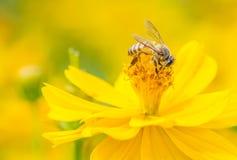 Abeja macra en la flor salvaje amarilla Imagen de oro amarilla del tono Fotografía de archivo