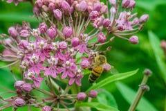 Abeja macra en las flores rosadas Imagen de archivo