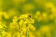 Abeja macra que hace la miel en campo de la rabina Fondo borroso Imagenes de archivo
