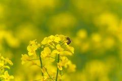 Abeja macra que hace la miel en campo de la rabina Fondo borroso Fotografía de archivo libre de regalías