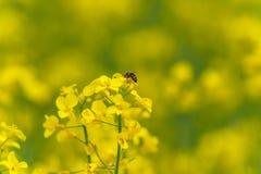 Abeja macra que hace la miel en campo de la rabina Fondo borroso Fotos de archivo