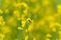 Abeja macra que hace la miel en campo de la rabina Fondo borroso Imagen de archivo libre de regalías