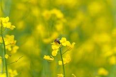 Abeja macra que hace la miel en el flor de la rabina Fondo borroso Imagen de archivo libre de regalías