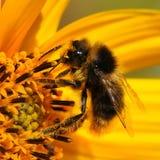 Abeja macra que recoge el polen Imagen de archivo
