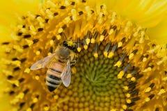 Abeja macra que recoge el polen del girasol Fotos de archivo
