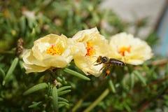 Abeja macra que recolecta el polen Fotos de archivo