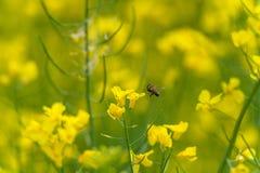 Abeja macra que vuela sobre el flor de la rabina Fondo borroso amarillo Foto de archivo libre de regalías