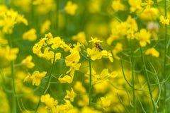 Abeja macra que vuela sobre el flor de la rabina Fondo borroso amarillo Fotografía de archivo libre de regalías