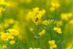 Abeja macra que vuela sobre el flor de la rabina Fondo borroso amarillo Imagen de archivo libre de regalías
