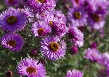 Abeja masculina en la flor Imagen de archivo