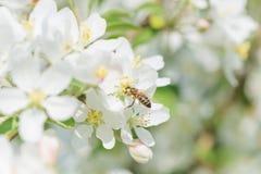 Abeja melífera en la flor del manzano Fotos de archivo