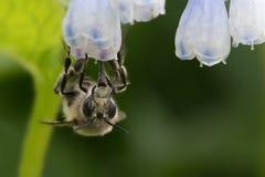 Abeja Melenudo-Alzada de la flor Imagen de archivo libre de regalías