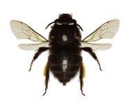 abeja Melenudo-con base de la flor en el fondo blanco Fotos de archivo libres de regalías