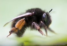 abeja Melenudo-con base de la flor y x28; Plumipes& x29 de Anthophora; perfil Fotos de archivo libres de regalías